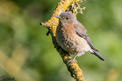 20160513_PutahCreek.jpg (tjludwick) Tags: california bird us unitedstates bluebird davis putahcreek westernbluebird