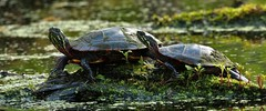two turtles together (don.white55 Thank you...) Tags: nature moss reptile wildlife turtles habitat wildwoodpark aquaticturtle dauphincounty wildwoodlake donwhite harrisburgpennsylvania pennsylvaniawildlife canoneos70d paintedturtleschrysemyspicta tamronsp150600mmf563divcusda011 donpwhitephotography thatswildnaturephotography