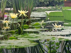 lily pond yellow (Upupa4me) Tags: flowers england kewgardens water yellow lilypad lilypond waterlilyhouse