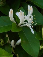 2 x 2 = 4 (nofrills) Tags: flowers plants plant flower green floral whiteflower flora honeysuckle shrub whiteflowers japanesehoneysuckle whiteandgreen