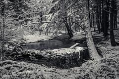 april showers (Port View) Tags: trees snow canada spring stream novascotia fresh ravine snowfall kentville 2016 cans2s fujixe2 kentvilleravine