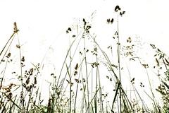 Btrctugsis  (Petra U.) Tags: white green field feld wiese himmel grasses grn karlsruhe weiss grser wormseyeview vonunten neureut sonyrx100
