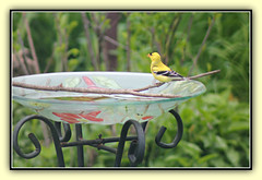 Sweet Visitor Bathing (bigbrowneyez) Tags: bird nature water beautiful yellow fun wings birdbath pretty bright sweet bokeh feathers adorable natura dolce finch frame mygarden visitor delightful cornice uccello bello yellowfinch uccellino sweetvisitorbathing