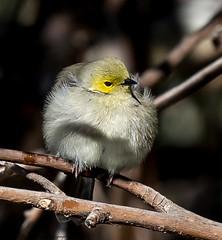 White-plumed Honeyeater (Lichenostomus penicillatus) (Doublebar) Tags: australianbirds a abirdsaustralia honeyeater625whiteplumed