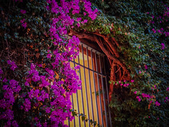 Seville (Colormaniac too) Tags: travel flowers autumn light window nature floral closeup architecture outside spain colorful details magenta vivid vine seville bougainvillea frame andalusia blooming thorny flypapertextures