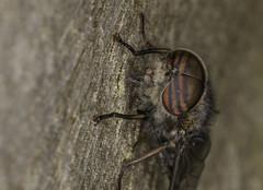 Stripey eyes (Nick.Ramsey) Tags: macro animal insect fly eyes stripes stripey nickramsey canonef100mmf28lmacro eos7dmarkii