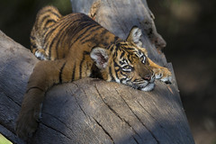 Mondays (San Diego Zoo Global) Tags: travel baby cute tourism nature animals sandiego tiger conservation cubs sandiegozoo bigcats safaripark