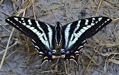 White & Black Swallowtail Butterfly (Pat's Pics36) Tags: blackandwhite canada butterfly bc britishcolumbia stives swallowtail whiteandblack shuswaplake nikond7000 nikkor18to200mmvrlens