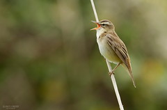 Sedge warbler (www.paul-green.org) Tags: nature wildlife aves avian wwwpaulgreenorg