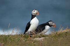 Puffins (NicoleW0000) Tags: ocean sea summer cute bird nature photography atlantic aquatic puffins seabird