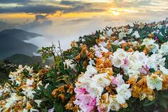 (Taiwan Alpine Rhodendron) (ChenLiang0729) Tags: sunset mountains flower landscape    hilltop   seaofclouds  hehuanshan  alpinerhododendron