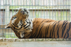 McCarthy's Wildlife Sanctuary (JLoyacano) Tags: tiger bigcat whitetiger mccarthyswildlifesanctuary jacobloyacano