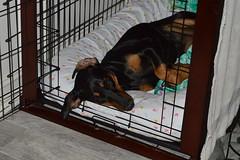 Lying in Bed 2016-05-18 (PiscesTiger24) Tags: dog baby black cute girl female puppy bed dragon sleep hund rest bedtime doberman crate kennel schwarz drache welpe dobermann
