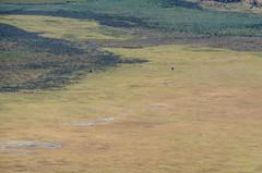 elephants inside the crater (sixthofdecember) Tags: africa travel elephant nature grass sunshine animal animals tanzania outside outdoors nikon sunny safari ngorongoro caldera elephants ngorongorocrater distance grassland tamron gamedrive tamron18270 nikond5100