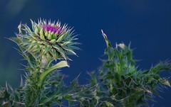 Too Prickly to Pick... (tquist24) Tags: flower green water geotagged weed nikon unitedstates bokeh thistle indiana wildflower goshen nikond5300 goshenmillracecanal goshenpondtrail