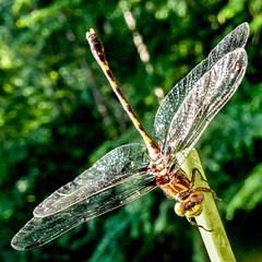 Dragonfly (tisatruett) Tags: light color nature beauty bug insect wings colorful natural wildlife iridescent lovely psychedelic drgonfly