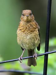 Robin (Edwyn Anderton) Tags: robin peakdistrict chick mygarden juvenilerobin robinchick