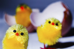 ...mummy? (Fino_graphy) Tags: macro chickens yellow fun humour chicks pintos chichens