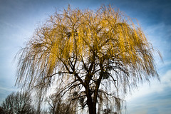 Babylon Willow (Walter Q's) Tags: blue sky tree field yellow austria spring branches willow babylon peking salix babylonica