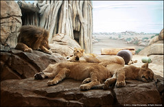 Sleeping Pride (jfelege) Tags: wisconsin themba leo ngc lion pride hubert lions naptime bigcats ssp lioncubs dayatthezoo panthera lionpride milwaukeezoo pantheraleo milwaukeecountyzoo njeri mcz sanura zoosofnorthamerica wisconsinzoo zoopass kiume flickrbigcats lionparents parentsoflioncubs milwaukeelioncubs mkelioncubs speciessurvialplan zoosinwisconsin