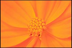 up close (srini_g2003) Tags: orange flower macro closeup canon petals focus close stack filter micro redrock tamron marigold xsi 18270 8x 450d