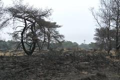 Recovering from the big burn last year (jpockele) Tags: landscapes burned later jaar kalmthout bosbrand kalmthoutseheide
