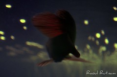 Arowana RTG Tail (Raoul Rutnam) Tags: red fish golden dragon tail rtg arowana