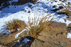 Who has ever seen Bush POppy covered in snow? (theforestprimeval) Tags: san pedro martir