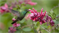 Rufous-tailed Hummingbird (Raymond J Barlow) Tags: birds costarica tour hummingbird wildlife adventure raymondbarlowtours