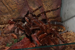 "Theraphosa stirmi mating • <a style=""font-size:0.8em;"" href=""http://www.flickr.com/photos/77637771@N06/6831385348/"" target=""_blank"">View on Flickr</a>"