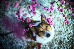 Tidings of Comfort and Joy (moaan) Tags: leica dog digital 50mm march spring corgi dof blossom bokeh f10 utata noctilux welshcorgi ume 2012 m9 japaneseapricot umeblossom pochiko leicanoctilux50mmf10 leicam9 blossomviewer