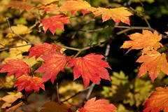 I don't be-leaf it (louderthanthat) Tags: wood autumn trees wallpaper colour tree leaves forest leaf screensaver acer backdrop yellows popular reds desktopbackground flickraward