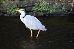 Grey Heron (ianharrywebb) Tags: scotland edinburgh waterofleithwalkway iansdigitalphotos freedomtosoarlevel1birdphotosonly