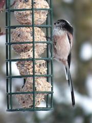 Long-tailed Tit (Green Granny) Tags: winter suffolk feedingthebirds