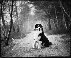 Rumo (derScheuch) Tags: bw dog white black film analog forest al sitting shanghai shepherd path australian hund sw medium format mf analogue rodinal schwarz 67 rz pfad rz67 f35 weis rumo sekor gp3 127mm waldmamiya
