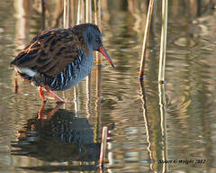 Water rail (Stuart G Wright Photography) Tags: bird water birds g wildlife rail stuart wright staffs stuartgwrightcom