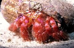 HERMIT CRAB (Gianlibero Melandri) Tags: life sea mare underwater crab bernardo vita immersioni granchio subacquea paguro crostaceo