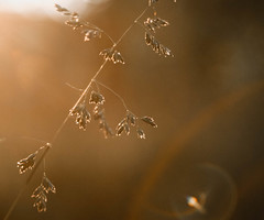 (~Abby) Tags: light sunset summer plant grass canon evening warm michigan seed lensflare heads 30d 28105mm3545