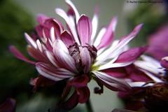 Pink macro (Rachel Dawson Photography) Tags: pink flower bouquet canoneosdigitalrebelxt blooming macri 365daychallenge naturethroughthelens