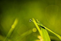 am i CLEAR :) (Kanishka **) Tags: green nature water garden dof bokeh bangalore dew raindrops droplet lovely karnataka samrat waterdroplet kanishka greenary raindroplets kanishkasamrat canon550d