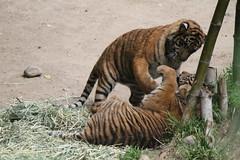 Sumatran Tiger cubs at play (Castles, Capes & Clones) Tags: california losangeles sumatrantiger griffithpark losangeleszoo losangeleszooandbotanicalgardens