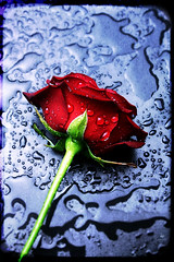 Happy Valentine's day (Senzio Peci) Tags: red italy flower rose happy day valentines romantic sicily paterno senziopeci