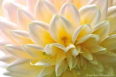 Rhythmic Petals - Dahlia (Kaye Menner) Tags: dahlia petals prettypetals pastelpetals prettydahlia rhythmicpetalsdahlia rhythmicpetals closeupofdahlia