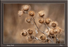 Winter Thistle (MShoey1) Tags: uk winter wild england west macro london nature gardens closeup digital nikon bokeh wildlife thistle foliage croydon wickham thegalaxy d5000 mygearandme