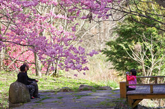 (* GEORG *) Tags: pentax taiwan sakura   cherrybloom wulingfarm da60250 da60250f4 smcpentaxda60250mmf4edifsdm
