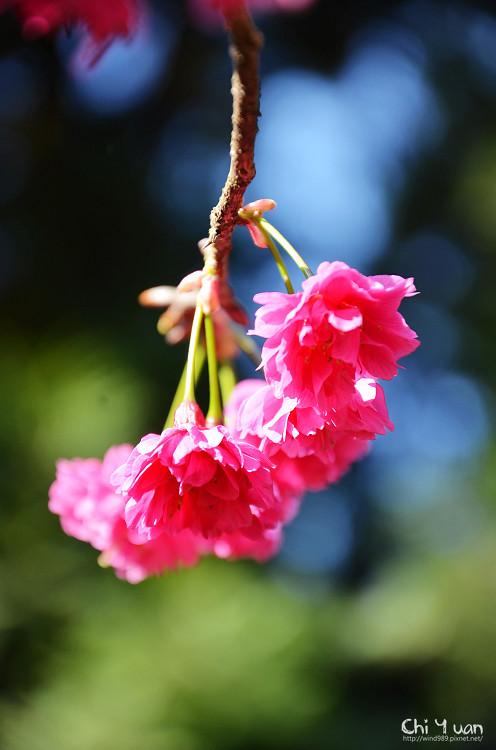 九族文化村櫻花祭-日17.jpg