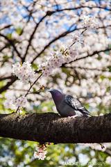Ueno Park / Tokyo, Japan (yameme) Tags: travel flowers nature animal japan canon eos tokyo ueno bokeh pigeon  sakura cherryblossoms    uenopark     24105mmlis  5dmarkii 5d2