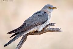 Common Cuckoo -     (arfromqatar) Tags: qatar  birdsofqatar  arfromqatar qatar2022 qatar2022fifaworldcup abdulrahmanalkhulaifi