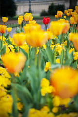 Tulips (James_2nd) Tags: uk flowers red yellow bath tulips royal crescent avenue