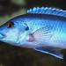 Melanochromis kaskazini Lupingu